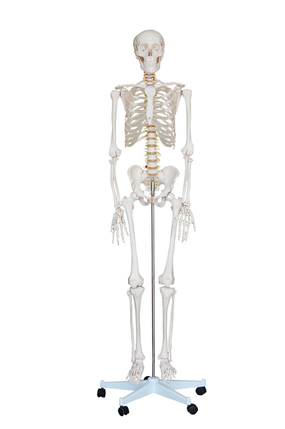 china 180cm skeleton model  xc-101