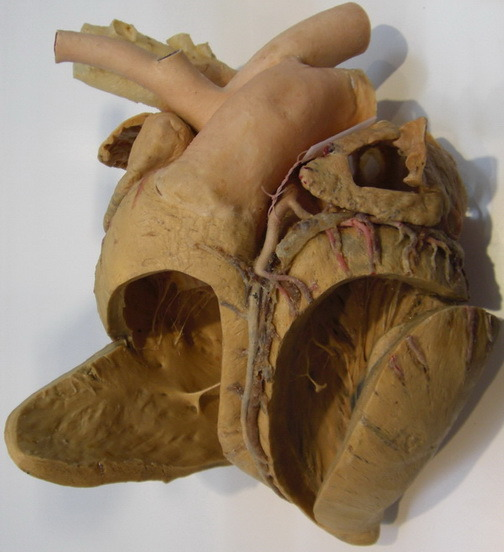 horse heart diagram