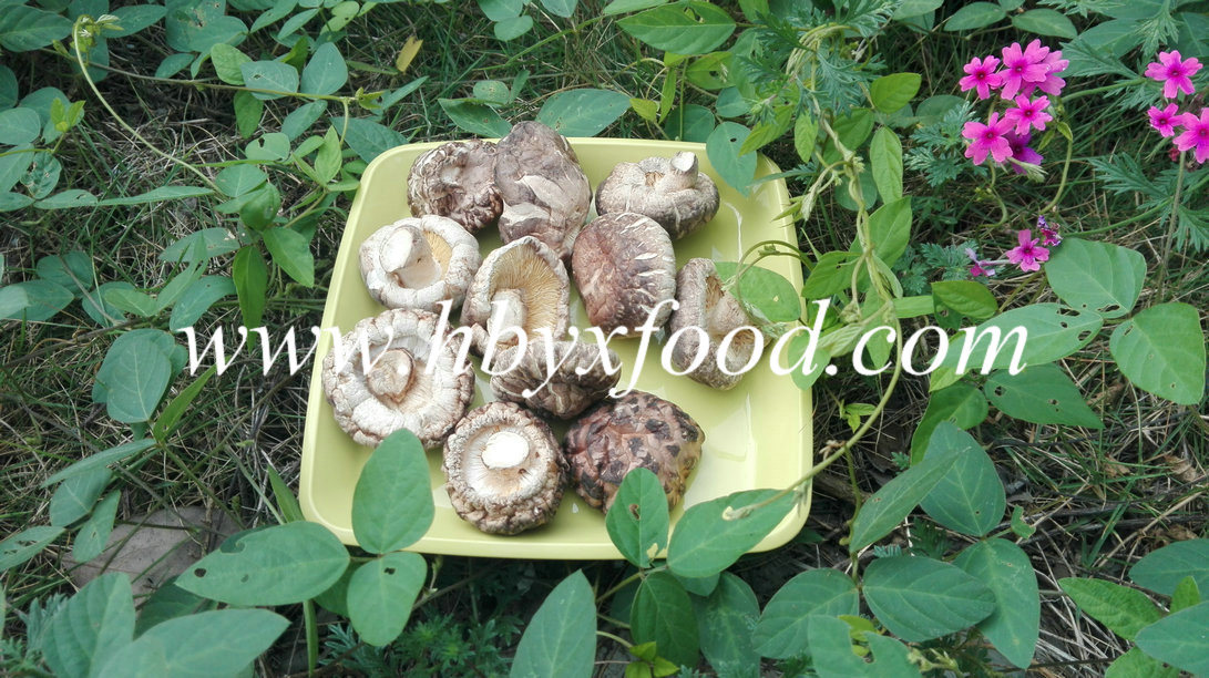 Mushroom for Sale Dried Tea Flower Mushroom Producer