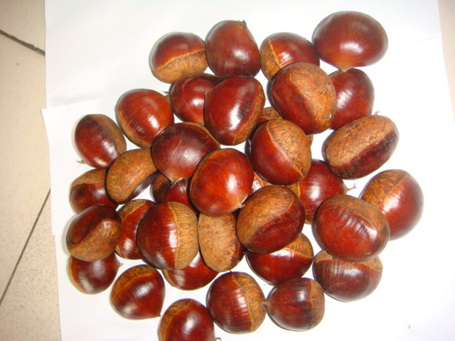 Professional Exporting 40-50 Fresh Chestnut