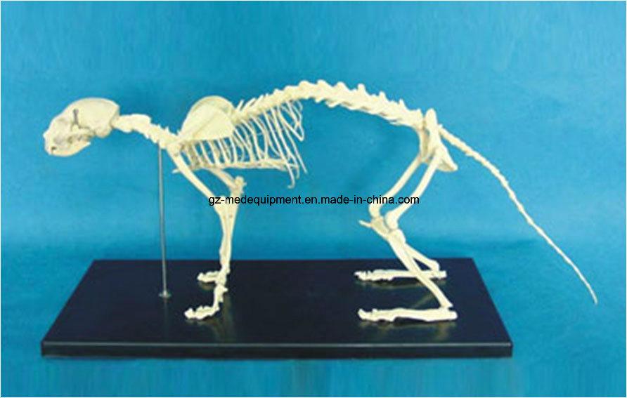 Life Size Plastic Human Torso Cat Dog Fetal Skeleton