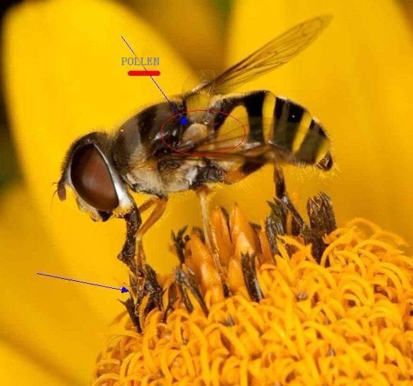 Bee Pollen 15% Protein
