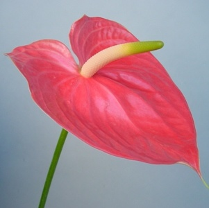 Flower Delivery Service on Fresh Cut Flower Anthurium   China Fresh Cut Flower  Cut Flower