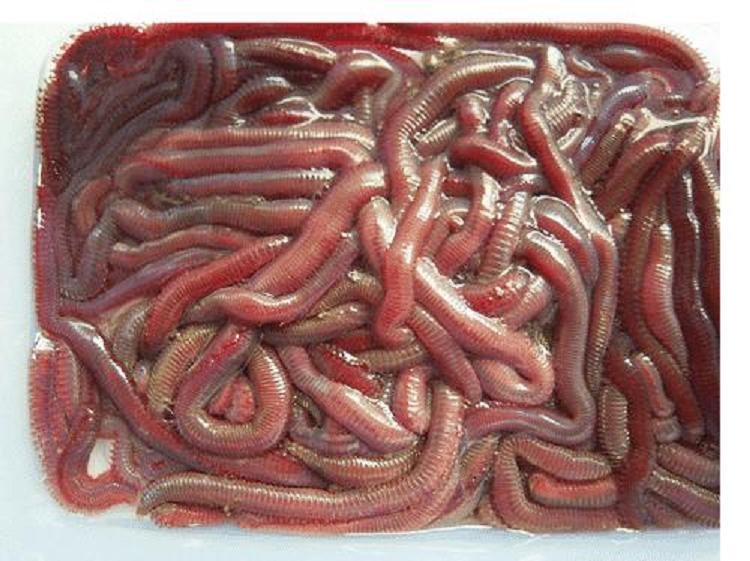 China arenicola bloodworm fishing bait china arenicola for Bloodworms for fish