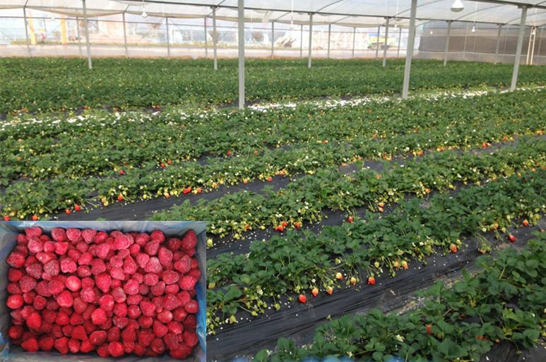 IQF Strawberry Wholes