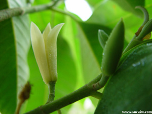 VƯỜN CÂY HOA ĐV I - Page 4 Michelia-Alba-Leaf-Oil-Michelia-Alba-Flower-Oil
