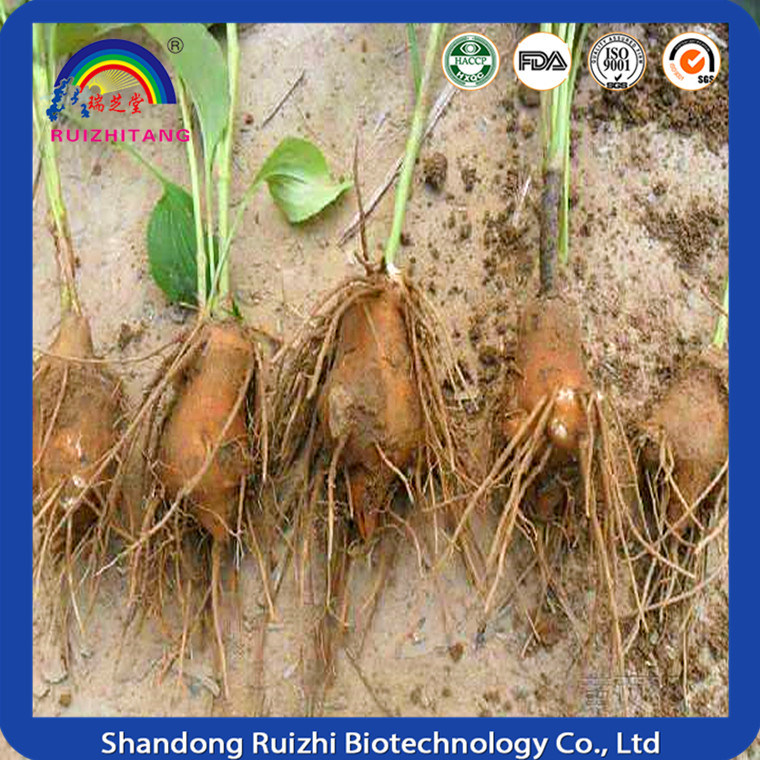 Largehead Atractylodes Rhizome Granules Extraction