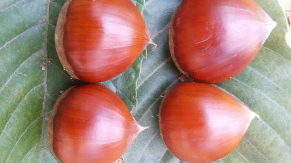 Processing New Season 50-60 Fresh Chestnut