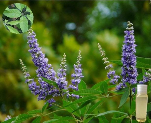 100% Organic Vitex Essential Oil for Body Massage
