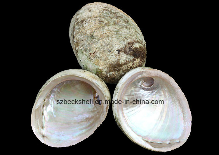 Green Lip Abalone Shell Raw Material