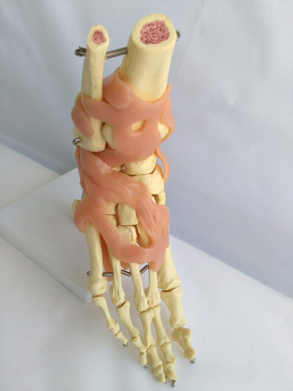 R020914 Human Ankle Joint Skeleton Medical Anatomy Health Model