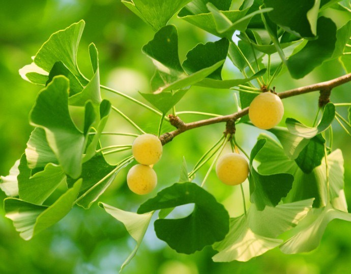 Ginkgo Biloba Extract for Food and Nutraceuticals