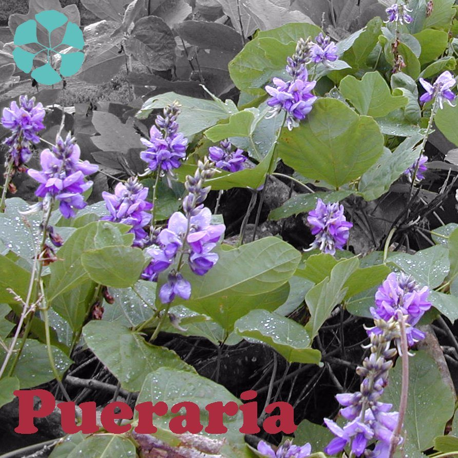 Pueraria Lobata Extract / Kudzu Root Extract / Puerarin