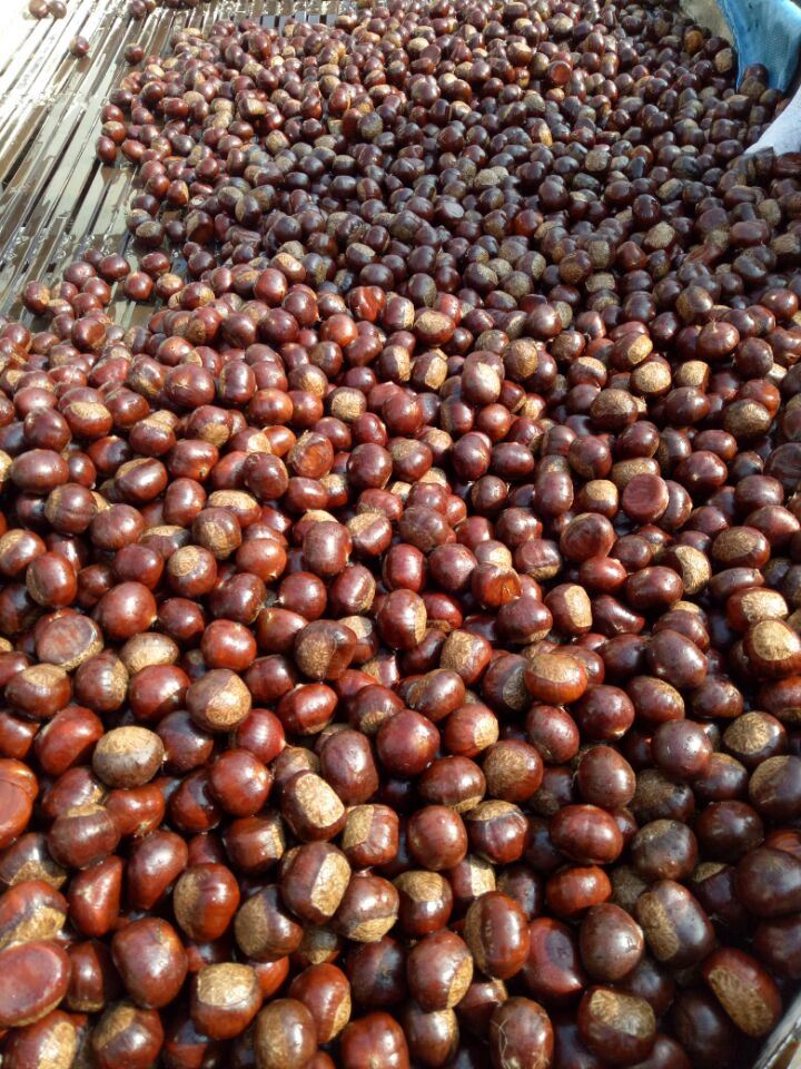 Export Professional Tai Shan 60-80 Fresh Chestnut