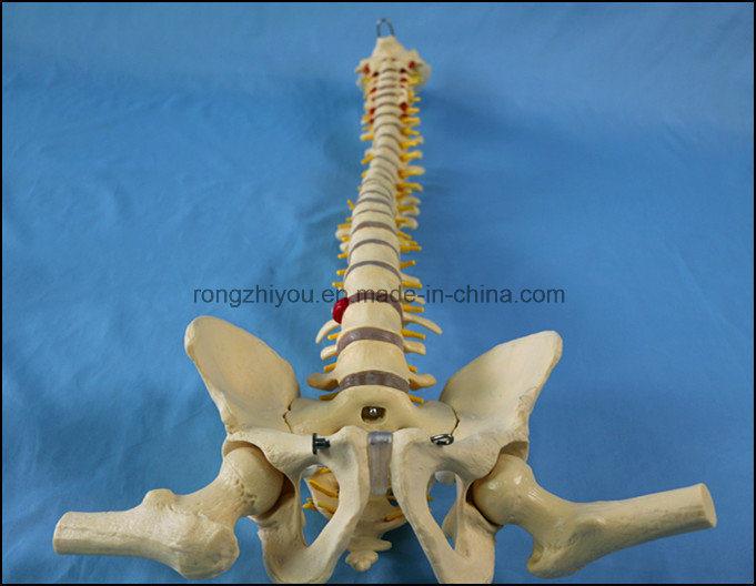 Best Seller Human Spine Skeleton Anatomy Model for Education