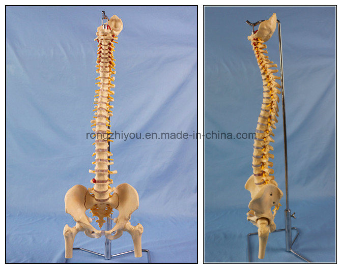 Best Seller Human Spine Skeleton Anatomy Model for Education