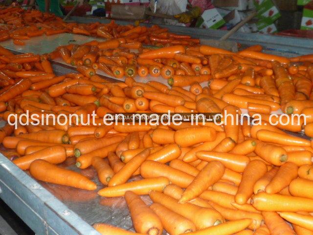 2016 Winter Crop Fresh Carrot