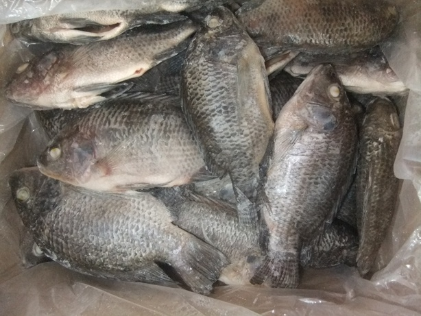 Frozen Gutted Tilapia From Chinese Tilapia Factory