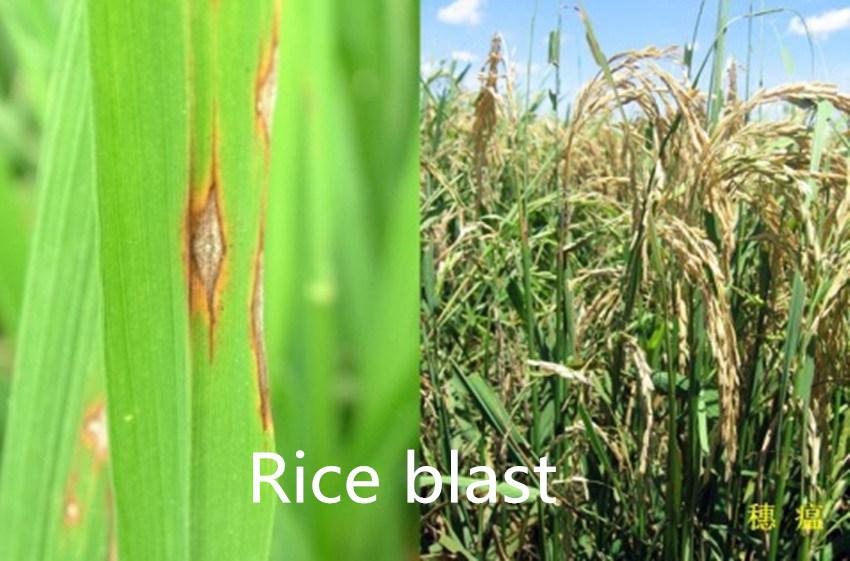 2016 New Agrochemical Fungicide Bismerthiazol 20%+Thiazole Zinc 35%