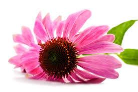 Echinacea Extract for Foods, Supplment, Cosmetics