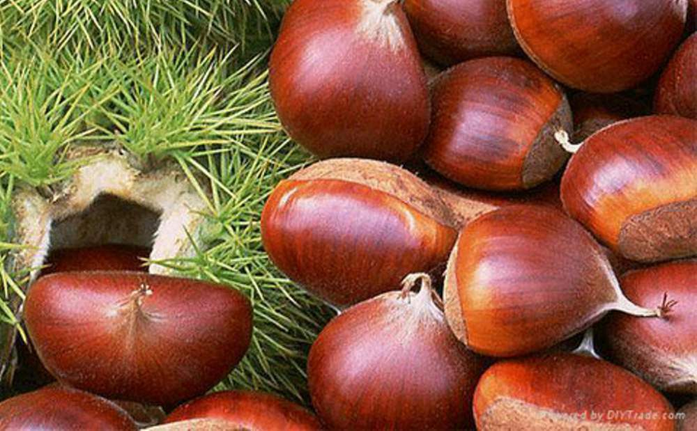 2017 Fresh Chinese Chestnuts with High Exporting Quality