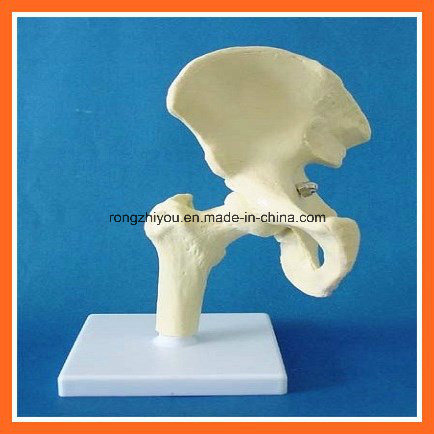 Human Anatomical Simulation Hip Skeleton Model for Medical Teaching