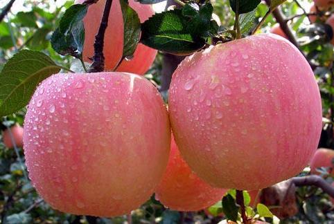 New Crop Exporting Standard FUJI Apple