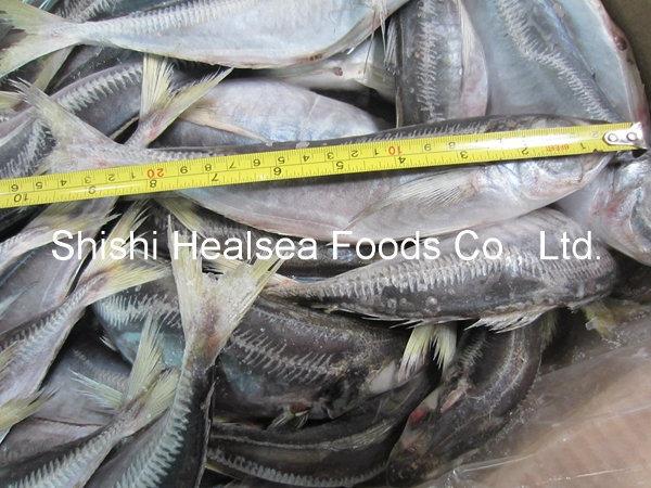 20cm+ Frozen Whole Round Horse Mackerel, 150-250g