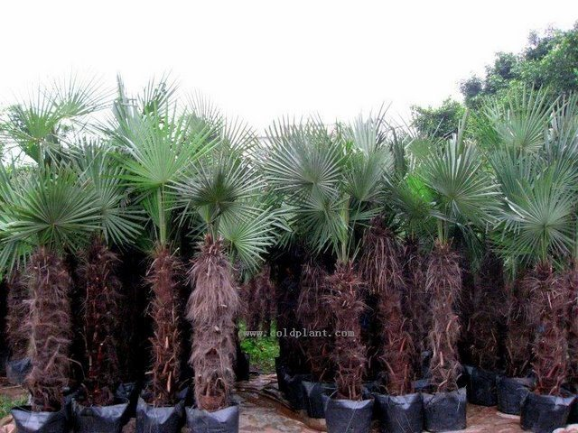 china trachycarpus fortunei more than 20cm diameter 2 4m. Black Bedroom Furniture Sets. Home Design Ideas