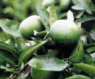 Natural Bitter Orange Extract 10% 98% Synephrine for Weight Loss