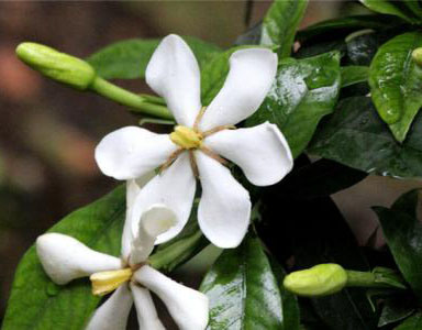 Crocetin 40%, Gardenia Jasminoides Extract Powder, Anti-Oxidative Anti-Tumor
