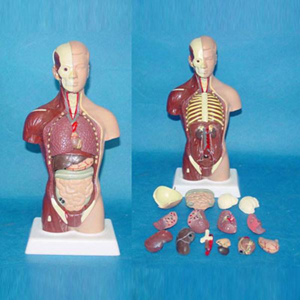 28cm American Musclar Torso Medical Anatomy Body Model Lab Teaching Equipment
