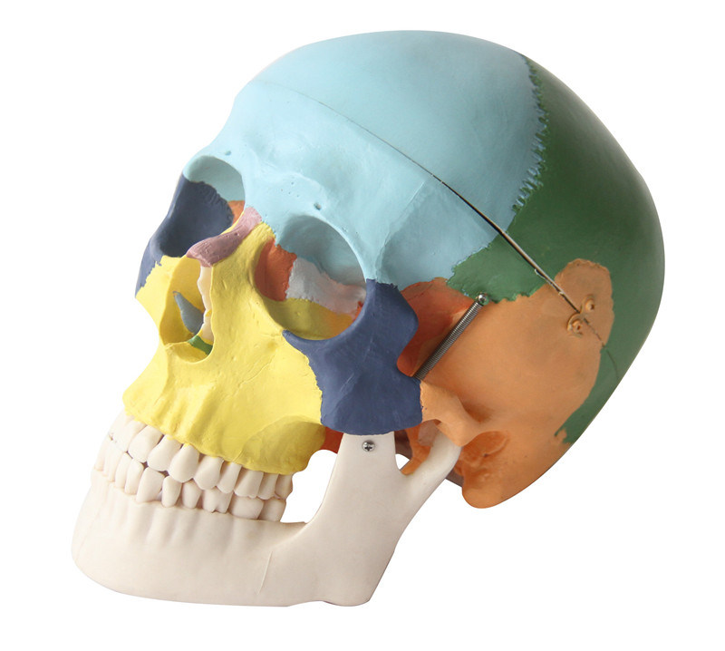 3 Parts Human Colored Skull Model