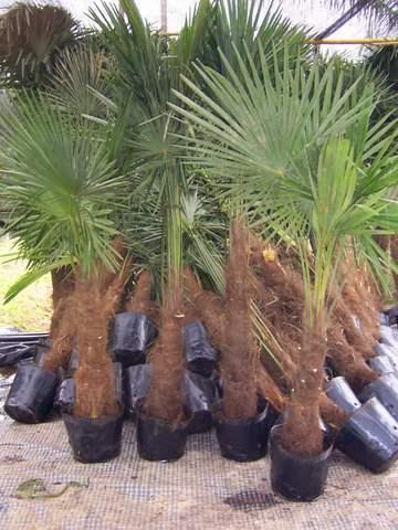 china trachycarpus fortunei china trachycarpus princeps. Black Bedroom Furniture Sets. Home Design Ideas