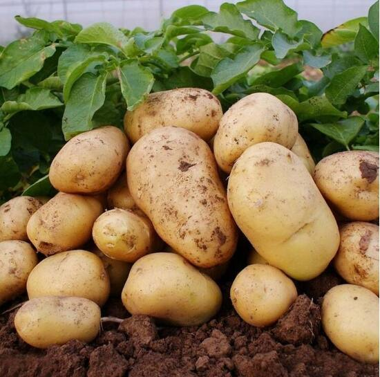 2016 Shandong Province Winter Crop Fresh Potato