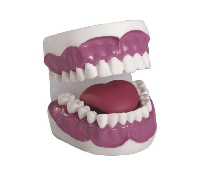 Medical Educational Dental and Teeth Care Model with 28 Teeth