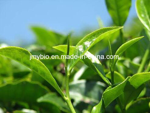 Antioxidant Green Tea Extract/L-Theanine 98%/ Tea Polyphenols
