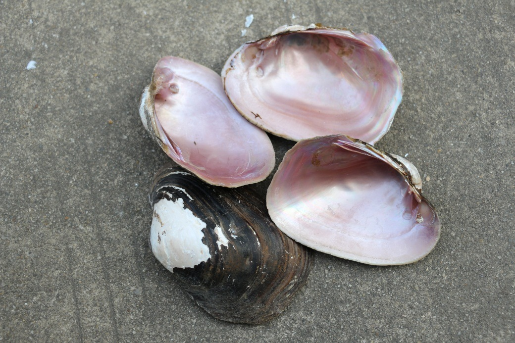 Pink Shell Raw Material for Jewellery