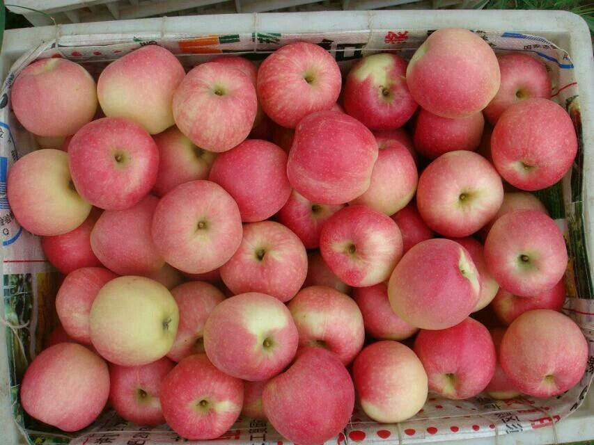 Fresh FUJI Apple New Crop