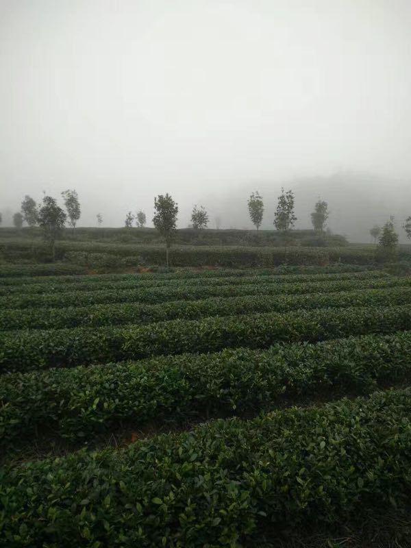 China Tea Guizhou Jade Pearl Chinese Green Tea