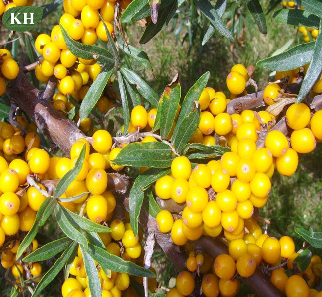 Natural Top Grade Herbal Sea Buckthorn Seed Oil