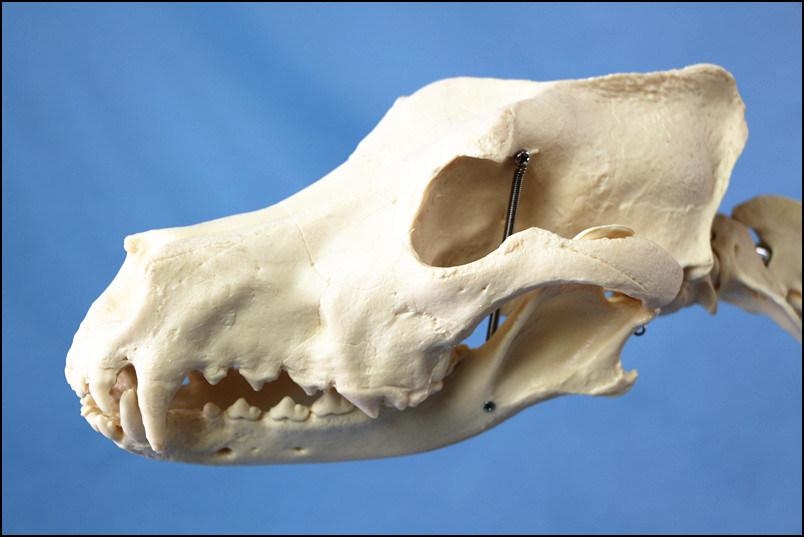 R190126 Hot Sale Canine Big Dog Skeleton Model