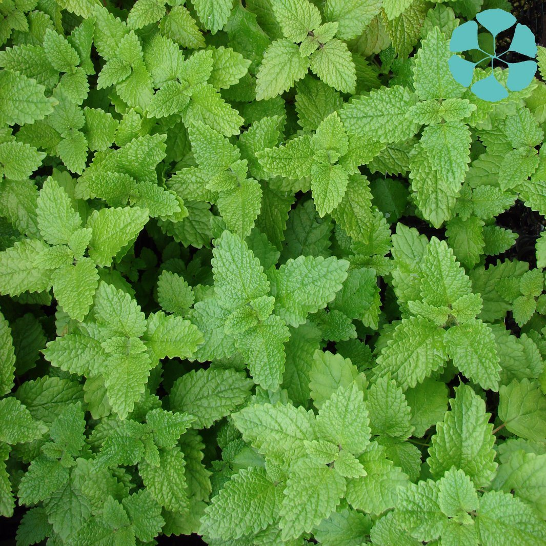 Lemon Balm Extract / Melissa Officinalis Extract / Rosmarinic Acid
