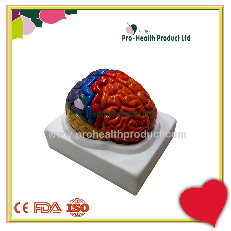 Assemble Human Head Brain End Model Anatomical Educational Model