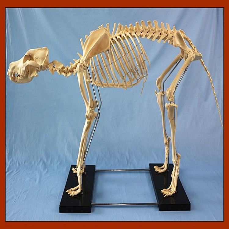 R190126 Hot Sale Canine Big Dog Skeleton Model