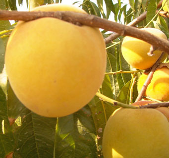 Yellow Peach Puree with High Quality