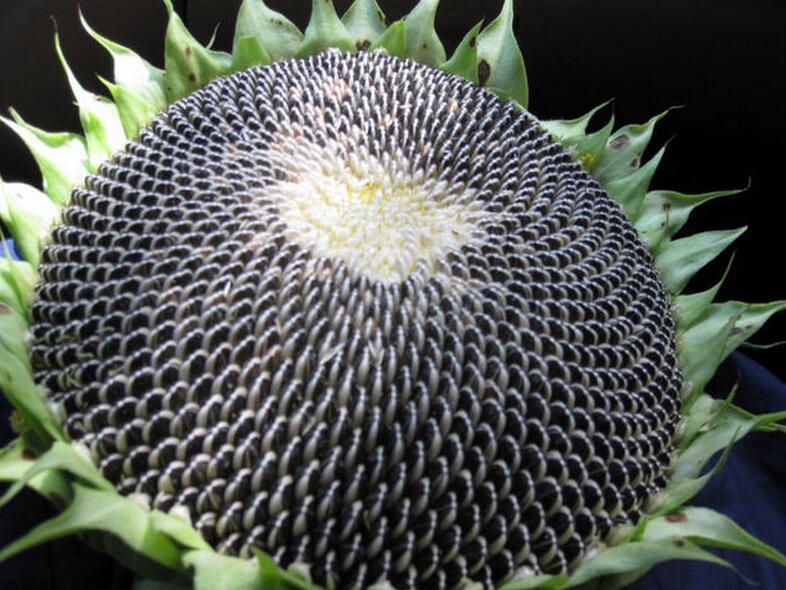 Export Sunflower Seeds 5009 From Inner Mongolia