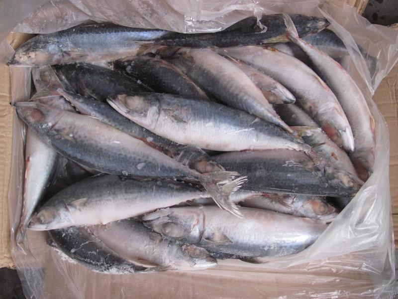 Frozen Fish Ma Scomber Scombrus Pacific Mackerel
