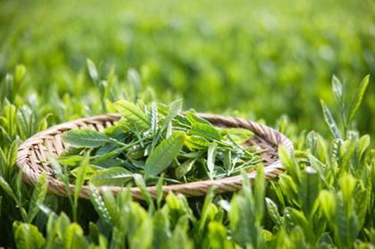 Green Tea Extract Powder Ntural Catechins EGCG
