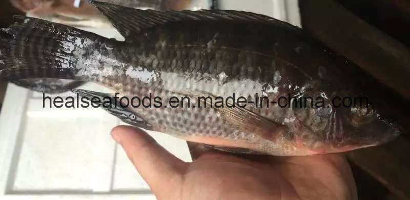 Frozen Tilapia Whole Round 500-800g